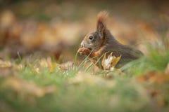 Κόκκινος σκίουρος το φθινόπωρο στοκ εικόνες