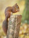 Κόκκινος σκίουρος το φθινόπωρο στοκ φωτογραφία