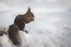 κόκκινος σκίουρος χιον στοκ φωτογραφία