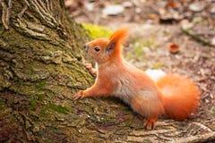 κόκκινος σκίουρος Στοκ εικόνες με δικαίωμα ελεύθερης χρήσης