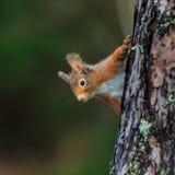 κόκκινος σκίουρος Στοκ εικόνα με δικαίωμα ελεύθερης χρήσης