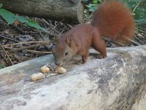 κόκκινος σκίουρος Στοκ φωτογραφία με δικαίωμα ελεύθερης χρήσης