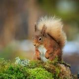 κόκκινος σκίουρος Στοκ φωτογραφίες με δικαίωμα ελεύθερης χρήσης