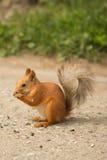 Κόκκινος σκίουρος Ittle που τρώει τους σπόρους ηλίανθων Στοκ φωτογραφία με δικαίωμα ελεύθερης χρήσης