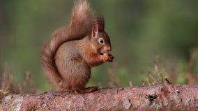 Κόκκινος σκίουρος, Sciurus Vulgaris, συνεδρίαση και περπάτημα κατά μήκος του κλάδου πεύκων κοντά στην ερείκη στα δάση των cairngo απόθεμα βίντεο