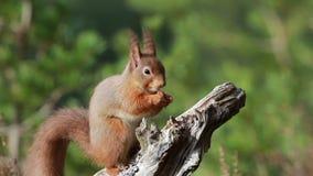 Κόκκινος σκίουρος, Sciurus Vulgaris, συνεδρίαση και περπάτημα κατά μήκος του κλάδου πεύκων κοντά στην ερείκη στα δάση των cairngo φιλμ μικρού μήκους