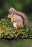 Κόκκινος σκίουρος, Sciurus vulgaris Στοκ εικόνα με δικαίωμα ελεύθερης χρήσης