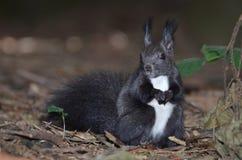 Κόκκινος σκίουρος, Sciurus vulgaris Στοκ εικόνες με δικαίωμα ελεύθερης χρήσης