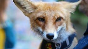 Κόκκινος στενός επάνω εγχώριων αλεπούδων απόθεμα βίντεο