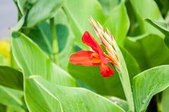 Κόκκινος στενός επάνω λουλουδιών canna στοκ φωτογραφίες