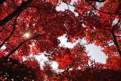 Κόκκινος σφένδαμνος, Κιότο, Ιαπωνία Στοκ Εικόνες