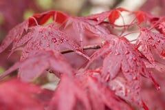 Κόκκινος σφένδαμνος μετά από τη βροχή Στοκ Φωτογραφίες