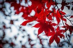 Κόκκινος σφένδαμνος στο υπόβαθρο θαμπάδων Στοκ φωτογραφίες με δικαίωμα ελεύθερης χρήσης