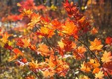 Κόκκινος σφένδαμνος φθινοπώρου Στοκ Φωτογραφία