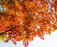 Κόκκινος σφένδαμνος φθινοπώρου στοκ εικόνες