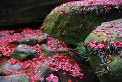 Κόκκινος σφένδαμνος στοκ εικόνα