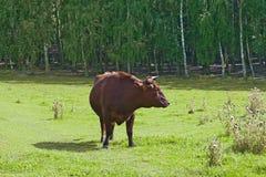 Κόκκινος ταύρος Στοκ εικόνες με δικαίωμα ελεύθερης χρήσης