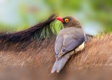 Κόκκινος-τιμολογημένο Oxpecker στοκ εικόνες με δικαίωμα ελεύθερης χρήσης