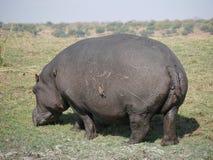 Κόκκινος-τιμολογημένα Oxpecker και Hippopotamus στο εθνικό πάρκο Chobe Στοκ Φωτογραφία