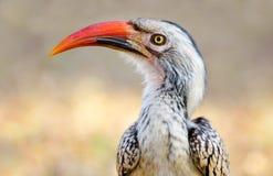 Κόκκινος-τιμολογημένο Hornbill, εθνικό πάρκο Kruger, Νότια Αφρική Στοκ φωτογραφία με δικαίωμα ελεύθερης χρήσης