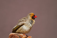 Κόκκινος-τιμολογημένο Quelea που σκαρφαλώνει στο βράχο Στοκ Εικόνες
