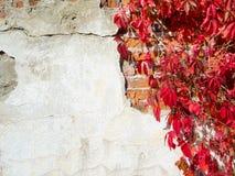 κόκκινος τοίχος φυτών αν&alpha Στοκ εικόνες με δικαίωμα ελεύθερης χρήσης