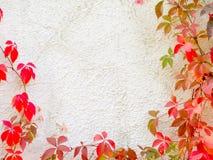 κόκκινος τοίχος φυτών αν&alpha Στοκ Εικόνες