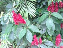 κόκκινος τροπικός λουλ Στοκ φωτογραφία με δικαίωμα ελεύθερης χρήσης