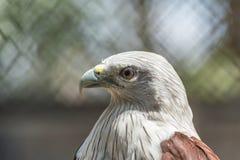 Κόκκινος υποστηριγμένος αετός θάλασσας στοκ φωτογραφία με δικαίωμα ελεύθερης χρήσης