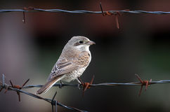 Κόκκινος-υποστηριγμένος shrike στοκ εικόνες με δικαίωμα ελεύθερης χρήσης