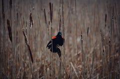 Κόκκινος φτερωτός κότσυφας σε Cattails Στοκ εικόνες με δικαίωμα ελεύθερης χρήσης