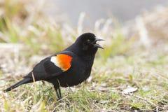 Κόκκινος φτερωτός κότσυφας τραγουδιού Στοκ εικόνες με δικαίωμα ελεύθερης χρήσης