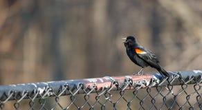 Κόκκινος φτερωτός κότσυφας Στοκ εικόνες με δικαίωμα ελεύθερης χρήσης