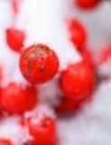 κόκκινος χειμώνας μούρων Στοκ φωτογραφία με δικαίωμα ελεύθερης χρήσης