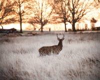 κόκκινος χειμώνας ρολογιών ανατολής αρσενικών ελαφιών ελαφιών Στοκ Εικόνες