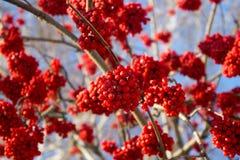 Κόκκινος χειμώνας Rowan Στοκ Φωτογραφίες