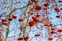 Κόκκινος χειμώνας Rowan Στοκ Εικόνες