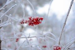 Κόκκινος χειμώνας viburnum Στοκ Φωτογραφίες