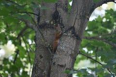 Κόκκινος χνουδωτός σκίουρος Στοκ Εικόνες
