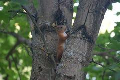 Κόκκινος χνουδωτός σκίουρος Στοκ φωτογραφίες με δικαίωμα ελεύθερης χρήσης