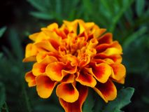 Κόκκινος-χρυσό marigold στον κήπο στοκ εικόνες