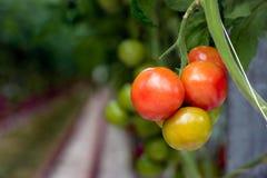 Κόκκινος-χρωματίζοντας ωριμάζοντας ντομάτες σε εγκαταστάσεις σε ένα θερμοκήπιο από το γ Στοκ φωτογραφία με δικαίωμα ελεύθερης χρήσης