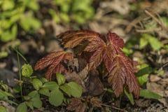 Κόκκινος χρόνος δέντρων φύλλων μικρός την άνοιξη Στοκ Εικόνα