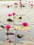 Κόκκινος λωτός στη λίμνη σε Wapi Pathum Maha Sarakham, Ταϊλάνδη στοκ φωτογραφίες