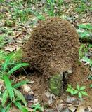 Κόκκινος λόφος μυρμηγκιών Στοκ Εικόνα