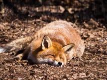 Κόκκινος ύπνος αλεπούδων Στοκ Φωτογραφίες