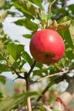 κόκκινος ώριμος μήλων Στοκ εικόνα με δικαίωμα ελεύθερης χρήσης