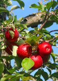 κόκκινος ώριμος μήλων Στοκ φωτογραφίες με δικαίωμα ελεύθερης χρήσης