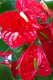 Κόκκινος anthurium στενός επάνω λουλουδιών Στοκ Εικόνες