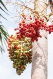 Κόκκινος Areca φοίνικας καρυδιών Στοκ Εικόνες